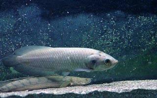 Ikan Nile Arwana