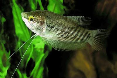 Ikan Sepat Siam