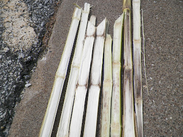 Four corn stems split lengthwise to show stalk rot symptoms.