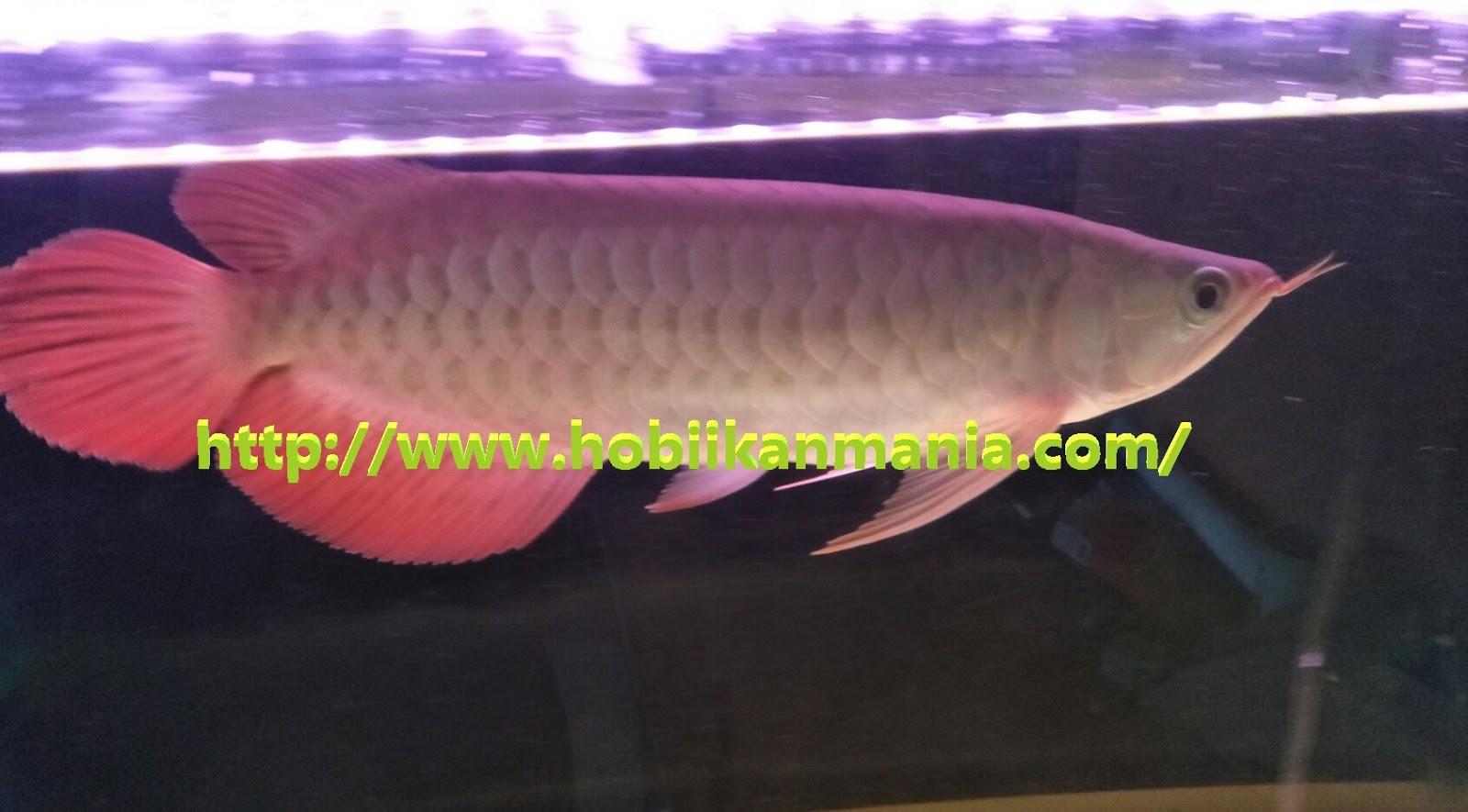 Jenis Ikan Arwana Berdasarkan Asal Usulnya Hobi Ikan Mania