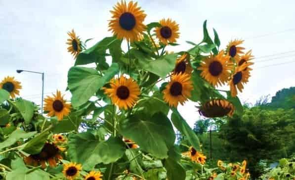 Pesona Kebun Bunga Matahari Kediri - Jawa Timur