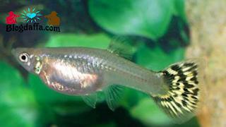Ciri-ciri Ikan Guppy Betina