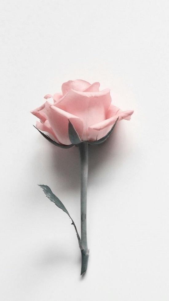 Gambar mawar ping