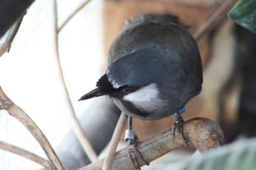 Black-Throated Laughing Thrush