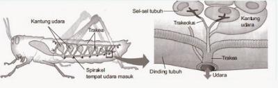 cara kerja organ pernapasan pada serangga www.simplenews.me