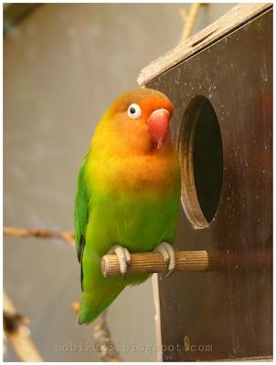 Menjaga kualitas indukan burung lovebrid