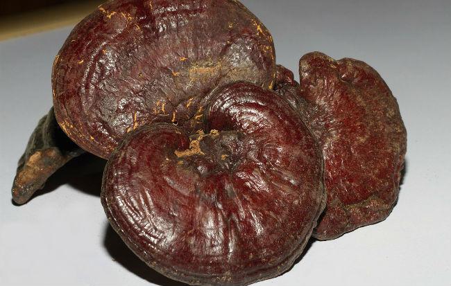 Il fungo reishi o Ganoderma lucidum