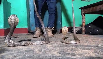 Dua ular kobra memasuki rumah warga