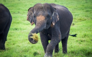 New Laws To Protect Elephants in Sri Lanka