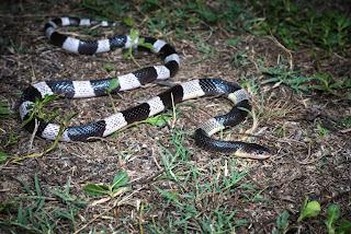 blue krait snake,most dangerous snake in the world