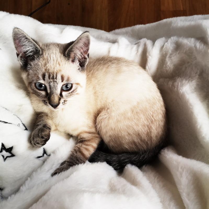 Risotto chaton siamois