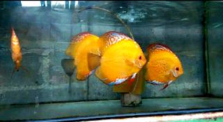 Gambar ikan discus red marlboro