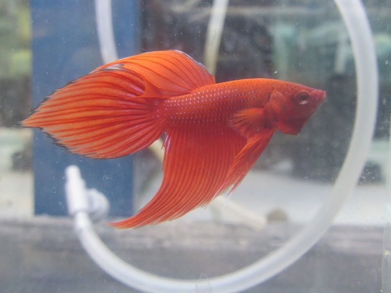 Image Red Betta Fish Names