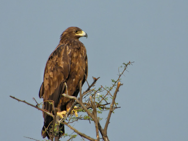 Greater Spotted Eagle in Keoladeo National Park