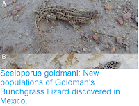 https://sciencythoughts.blogspot.com/2016/12/sceloporus-goldmani-new-populations-of.html