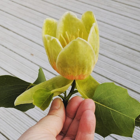 image of a yellow tulip bloom being held by my hand