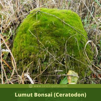 Lumut Bonsai (Ceratodon)