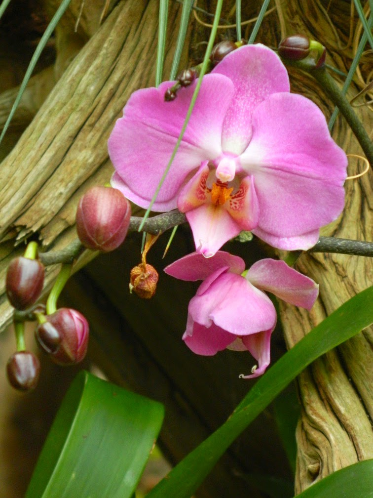 Pink Phalaenopsis Moth Orchid Centennial Park Conservatory by garden muses-not another Toronto gardening blog