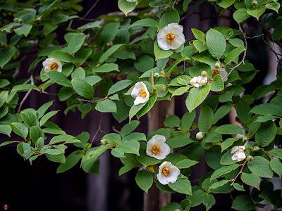 Natsu-tubaki (Stewartia pseudocamellia) flowers: Kaizo-ji