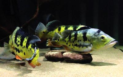 Gambar ikan pbass