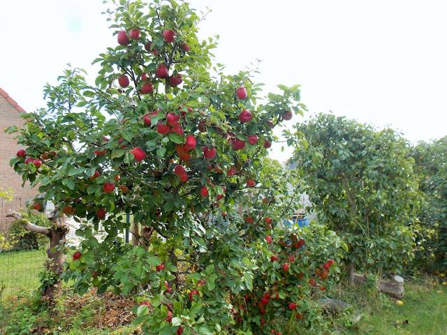 C'est le début de la récolte des pommes