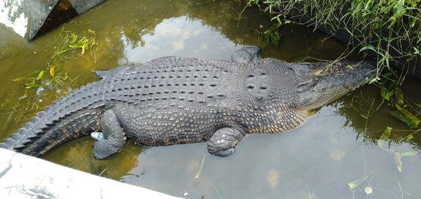 comida viva por crocodilo2