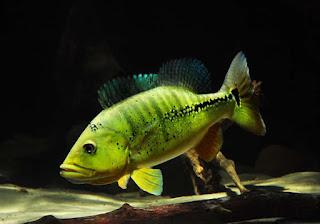 Peacock Bass Xingu