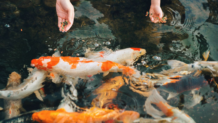 common goldfish care