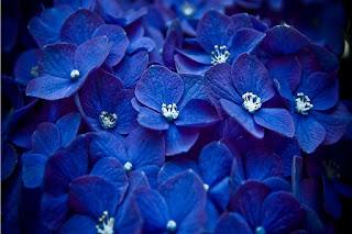florecillas-azules