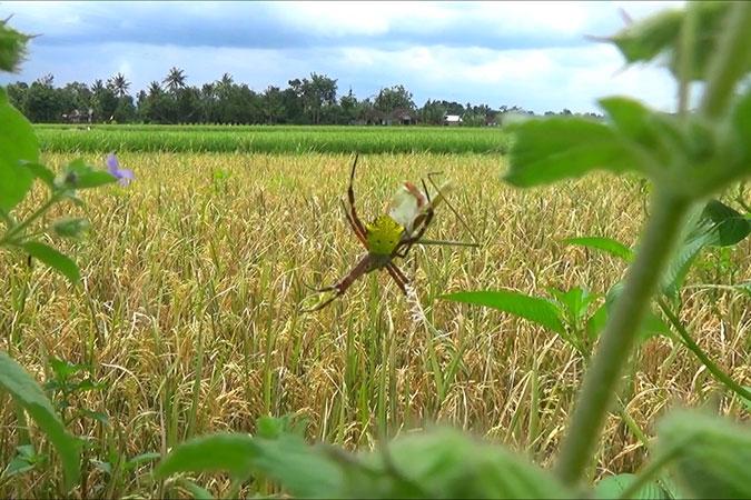 Dlium Yellow garden spider (Argiope appensa)