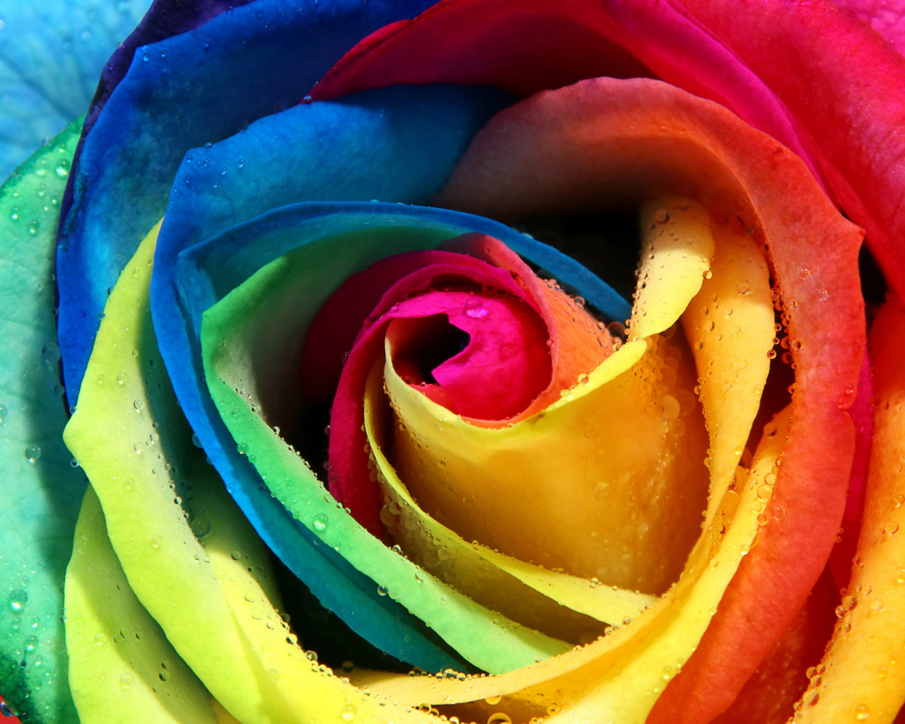 Cute And Cool Wallpapers Giy Cute Rose Hd Wallpaper Hd Wallpaper