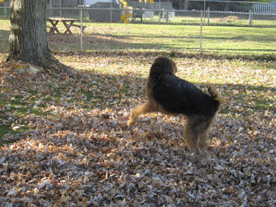 Airedale Hannah playing in the leaves