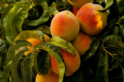 How to grow a peach tree from a seed