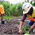 Hasil Penelitian UNIPA Ungkap Ekstrak Tailing PTFI Tingkatkan Produksi Pangan Lokal