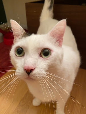 Photo of Sharky the white cat staring up at me desperately