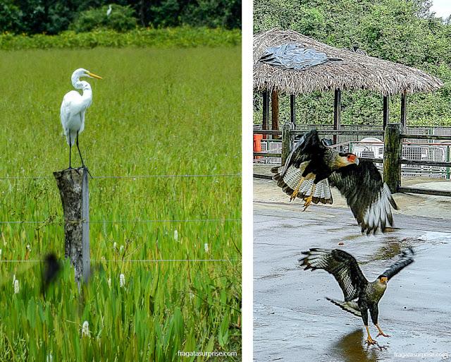 Férias de julho Brasil - garça e carcarás, fauna do Pantanal do Mato Grosso