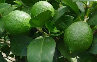 jeruk nipis obat batuk