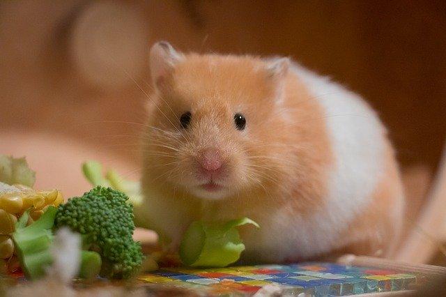 Gambar hamster dan makanan