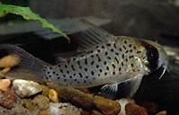 Jenis Ikan Corydoras atropersonatus