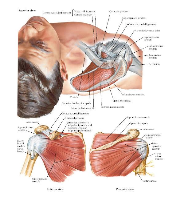 Muscles of Rotator (Compressor) Cuff Anatomy