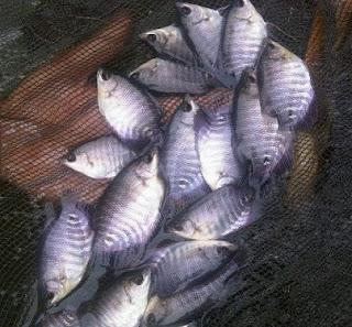 budidaya ikan gurami di kolam terpal, gurami di kolam terpal pdf, budidaya ikan gurami di kolam tanah mudah,
