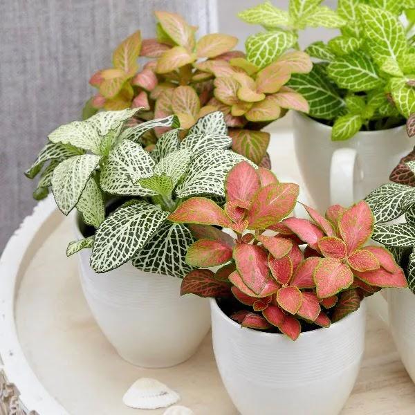 نبتة فيتونيا أجمل النبتات المنزلية ولاتحتاج العناية الكثيرة