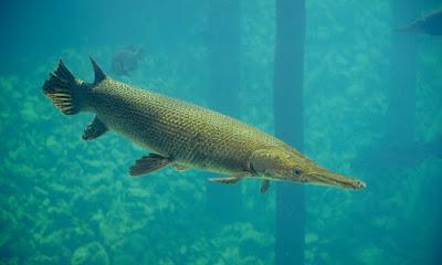 Aligator Atractoeus spatula ikan hias air tawar