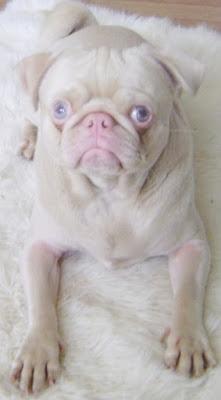 5. Bloomin est un carlin rare de couleur fauve aux yeux bleus qui gagnera votre cœur en quelques secondes. (© pugslife, org)