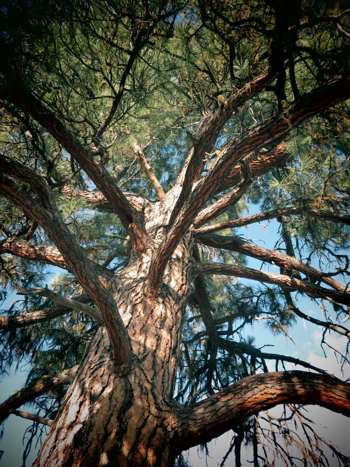 Flora Montana Ponderosa Pine