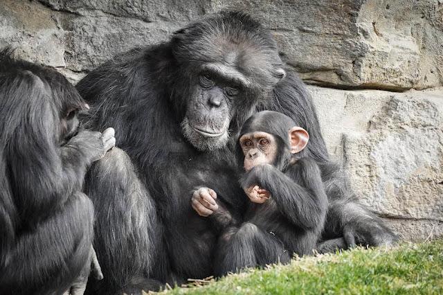 chimpancé Coco