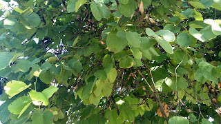Bauhinia blakeana, legume tree leaves