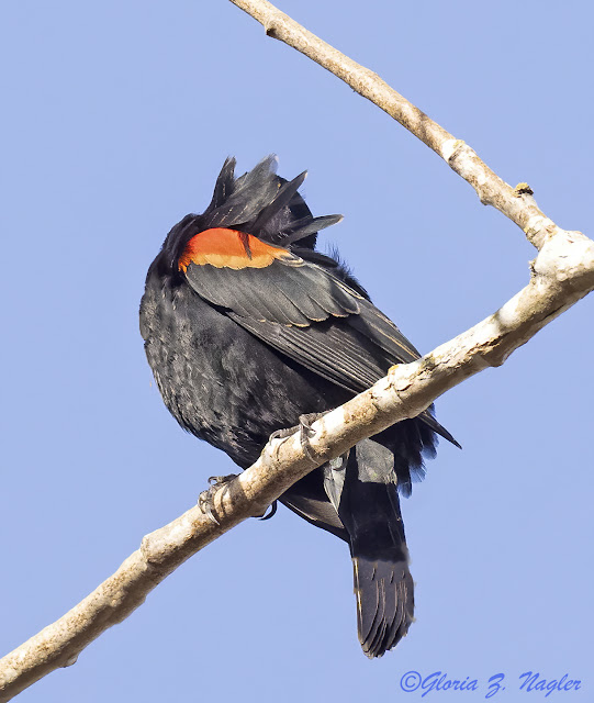 A glossy black bird sits with his head completely under his wing. He has a collar of red and orange with a scalloped edge