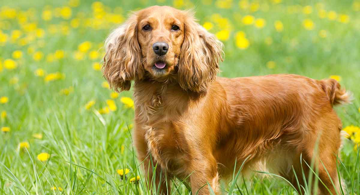 The-English-Cocker-Spaniel