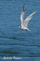 Elegant tern in flight, Moss Landing, CA - Sept. 24, 2016, photo by Roberta Palmer